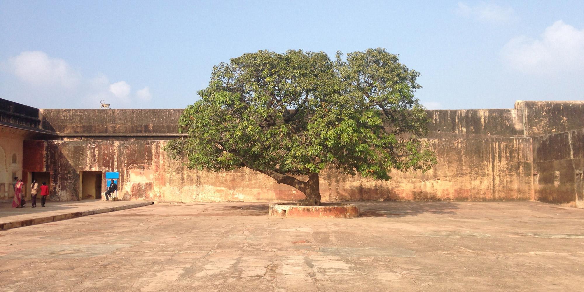 Jaipur fort tree
